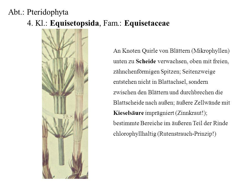 Abt.: Pteridophyta 4. Kl.: Equisetopsida, Fam.: Equisetaceae folioses Lebermoos An Knoten Quirle von Blättern (Mikrophyllen) unten zu Scheide verwachs