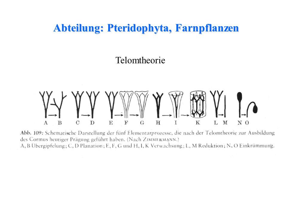 Abteilung: Pteridophyta, Farnpflanzen thalloses Lebermoosfolioses LebermoosLaubmoosfolioses Lebermoos Telomtheorie