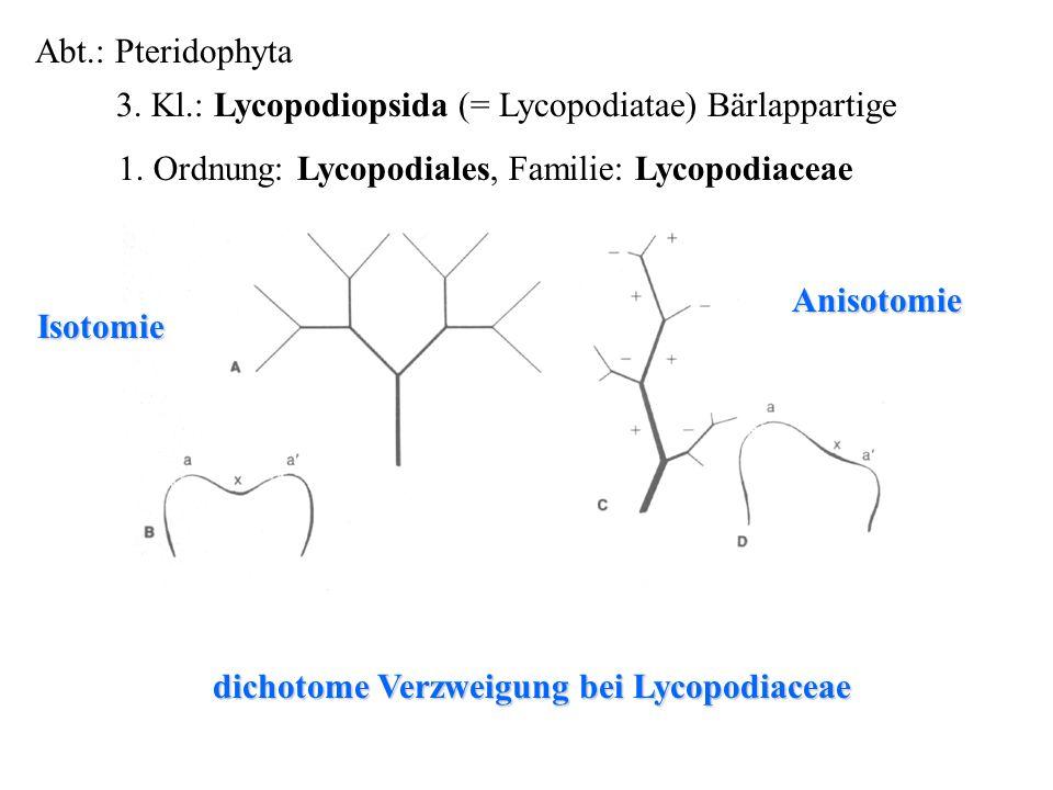 Abt.: Pteridophyta 3. Kl.: Lycopodiopsida (= Lycopodiatae) Bärlappartige folioses Lebermoos dichotome Verzweigung bei Lycopodiaceae 1. Ordnung: Lycopo