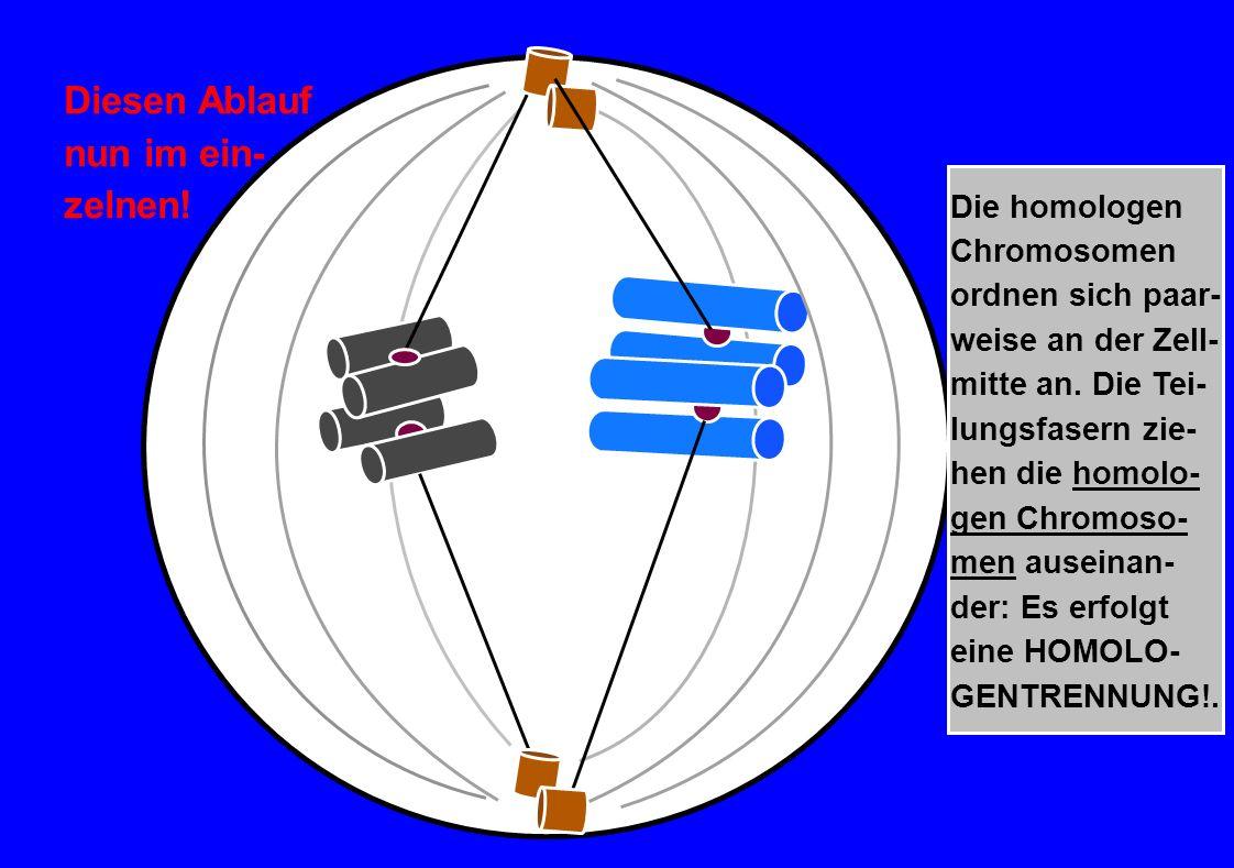 Die homologen Chromosomen ordnen sich paar- weise an der Zell- mitte an. Die Tei- lungsfasern zie- hen die homolo- gen Chromoso- men auseinan- der: Es