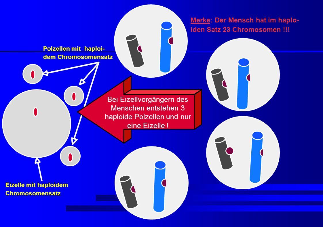 Bei Eizellvorgängern des Menschen entstehen 3 haploide Polzellen und nur eine Eizelle ! Polzellen mit haploi- dem Chromosomensatz Eizelle mit haploide