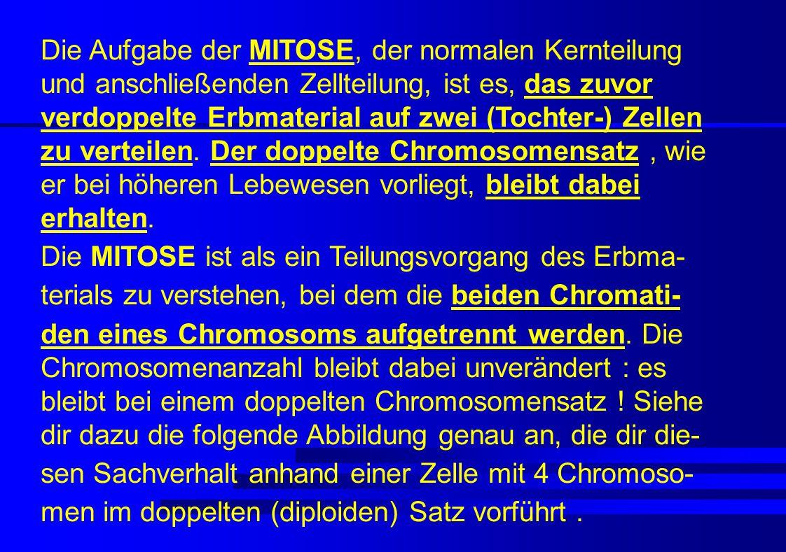 Die Aufgabe der MITOSE, der normalen Kernteilung und anschließenden Zellteilung, ist es, das zuvor verdoppelte Erbmaterial auf zwei (Tochter-) Zellen