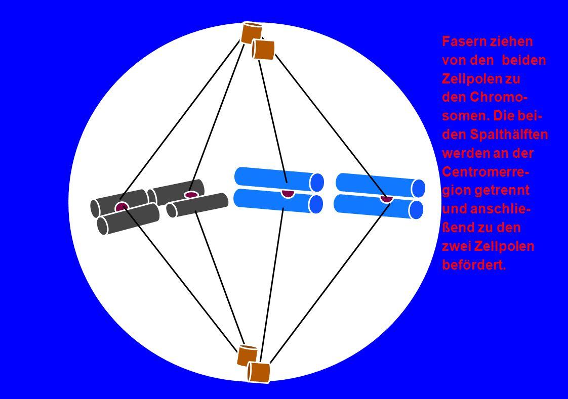 Fasern ziehen von den beiden Zellpolen zu den Chromo- somen. Die bei- den Spalthälften werden an der Centromerre- gion getrennt und anschlie- ßend zu