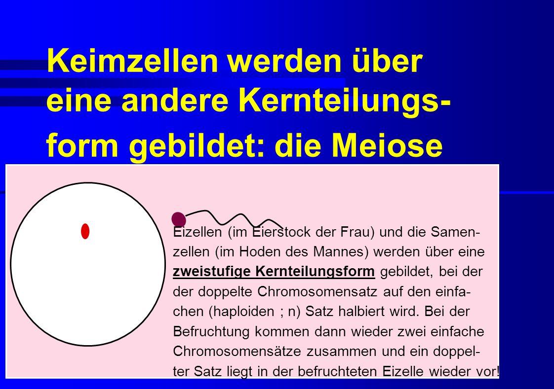 Keimzellen werden über eine andere Kernteilungs- form gebildet: die Meiose Eizellen (im Eierstock der Frau) und die Samen- zellen (im Hoden des Mannes