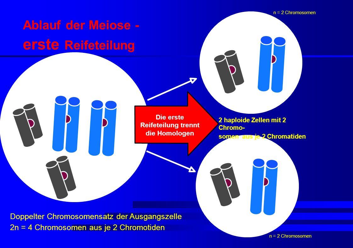 Die erste Reifeteilung trennt die Homologen Doppelter Chromosomensatz der Ausgangszelle 2n = 4 Chromosomen aus je 2 Chromotiden 2 haploide Zellen mit