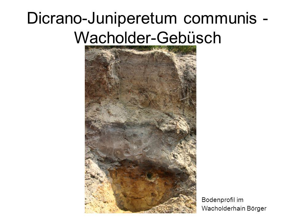 Bodenprofil im Wacholderhain Börger Dicrano-Juniperetum communis - Wacholder-Gebüsch