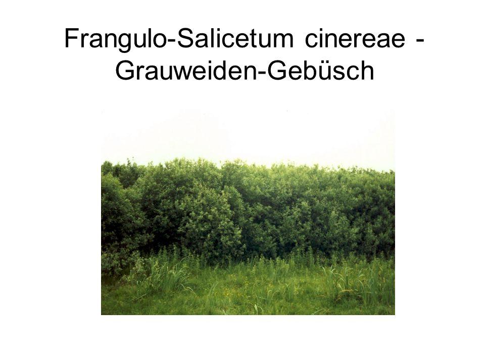 Klasse:Querco-Fagetea; Eschen-, Eichen-Hainbuchen und krautreiche Buchenwälder Ordnung:Querco-Carpinetalia; Eichen-Hainbuchen-Wälder Verband:Carpinion betuli; Eichen-Hainbuchenwälder Ass.:Stellario-Carpinetum; Sternmieren-Eichen-Hainbuchen-Wald Arten GHIJKStetigkeit AC, VC, OC Stellaria holostea R22/5 AD,VD,OD Quercus robur 122R4/5 KC Hedera helix R1424/5 Anemone nemorosa R+13/5 Brachypodium sylvaticum +1/5 Fraxinus excelsior R1/5 KD Fagus sylvatica 555515/5 Begleiter Acer pseudoplatanus 21124/5 Galium odoratum 3313/5 Geum urbanum RRR3/5 Glechoma hederacea 3R+3/5 Ilex aquifolium RRR3/5 Milium effusum R+13/5 Poa nemoralis R+13/5 Geranium robertianum ++2/5