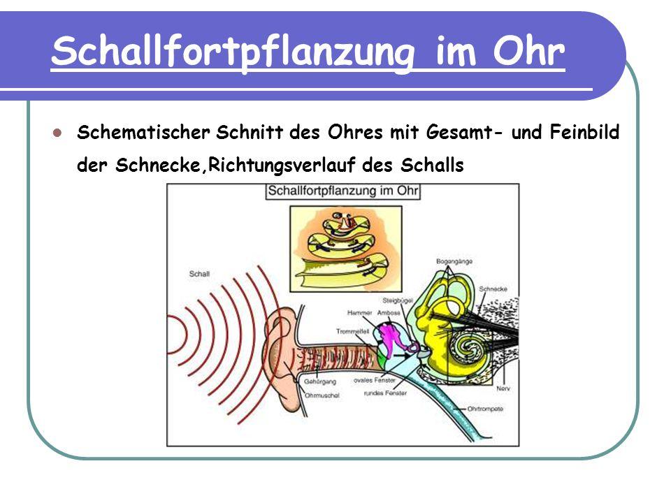 Schallfortpflanzung im Ohr Schematischer Schnitt des Ohres mit Gesamt- und Feinbild der Schnecke,Richtungsverlauf des Schalls