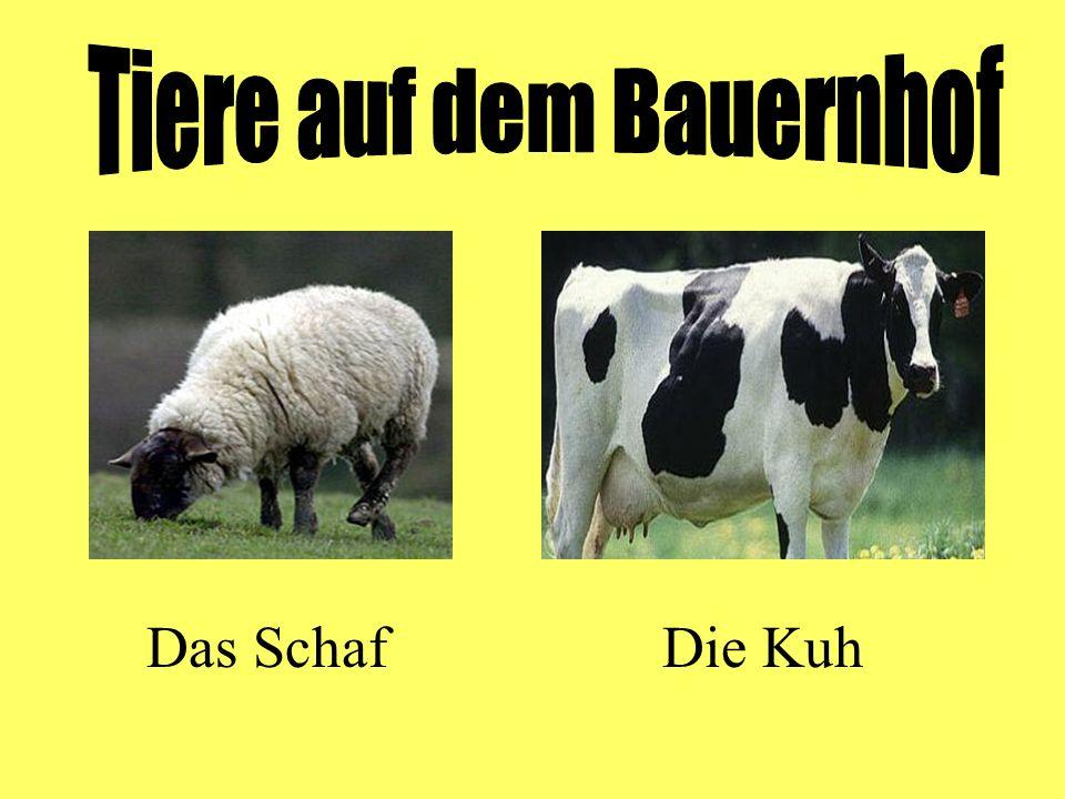 Das SchafDie Kuh