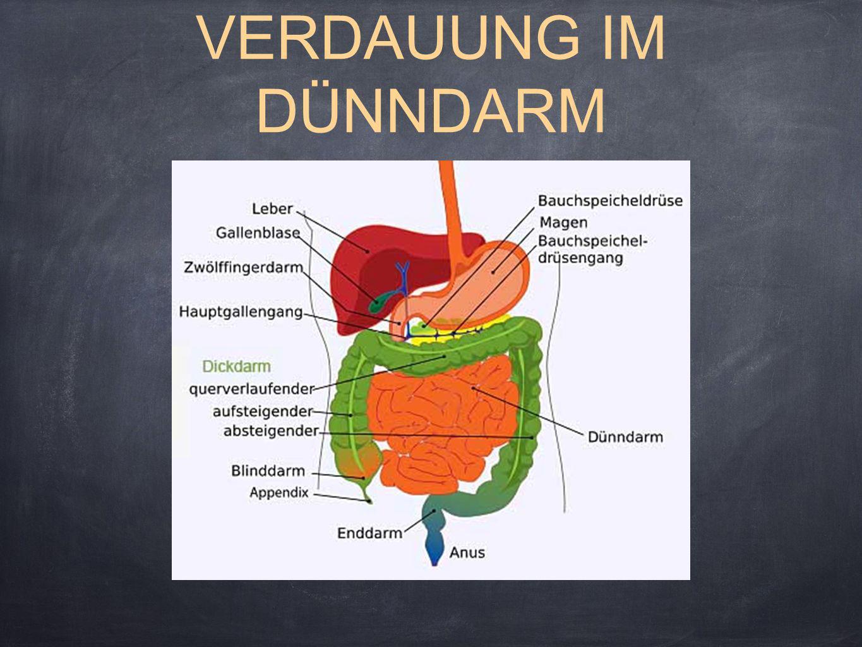 DER DÜNNDARM Der Dünndarm ist der Teil des menschlichen Verdauungstraktes, der zwischen Magen und Dickdarm liegt.
