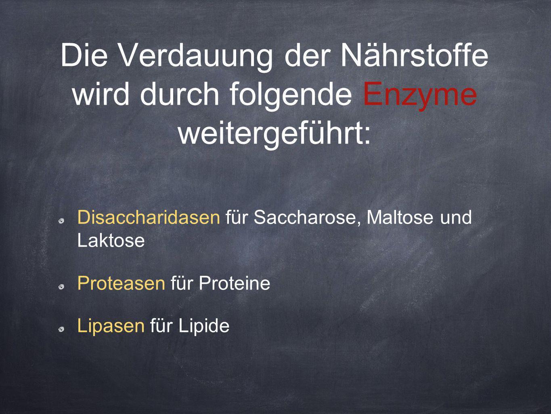 Die Verdauung der Nährstoffe wird durch folgende Enzyme weitergeführt: Disaccharidasen für Saccharose, Maltose und Laktose Proteasen für Proteine Lipa