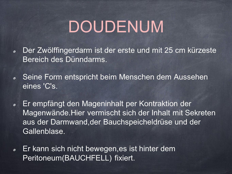 DOUDENUM Der Zwölffingerdarm ist der erste und mit 25 cm kürzeste Bereich des Dünndarms. Seine Form entspricht beim Menschen dem Aussehen eines 'C's.