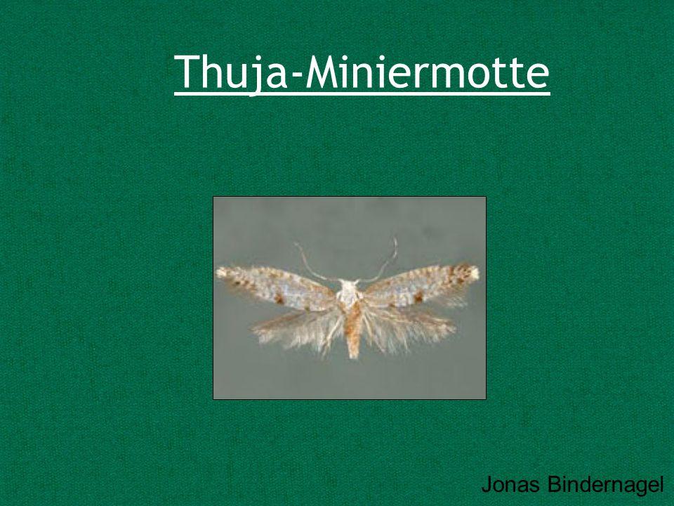 Thuja-Miniermotte Jonas Bindernagel