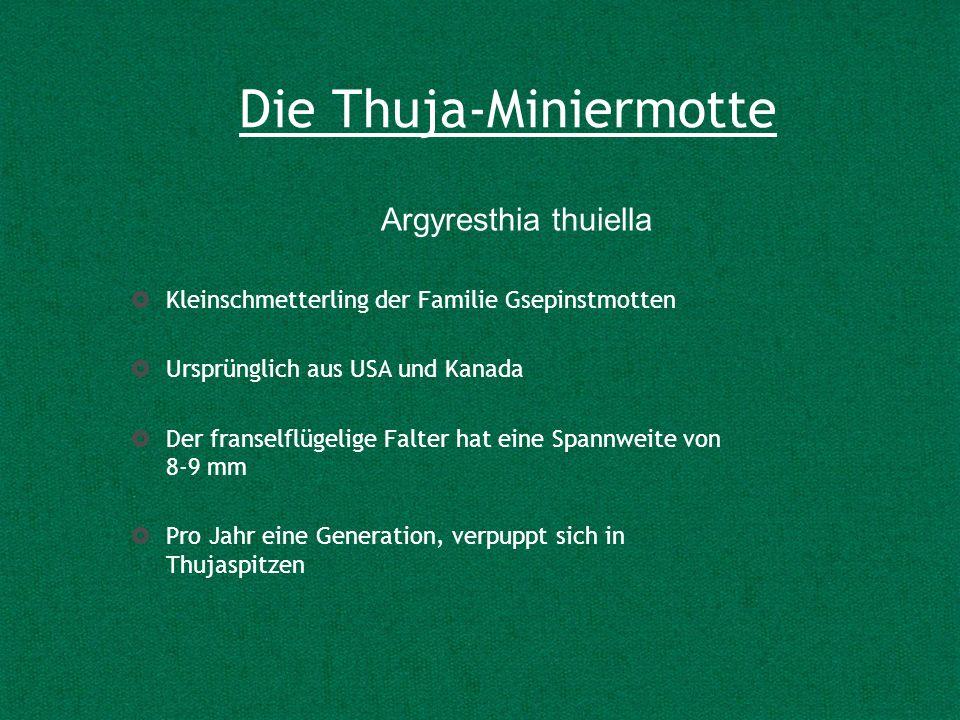 Die Thuja-Miniermotte Kleinschmetterling der Familie Gsepinstmotten Ursprünglich aus USA und Kanada Der franselflügelige Falter hat eine Spannweite vo
