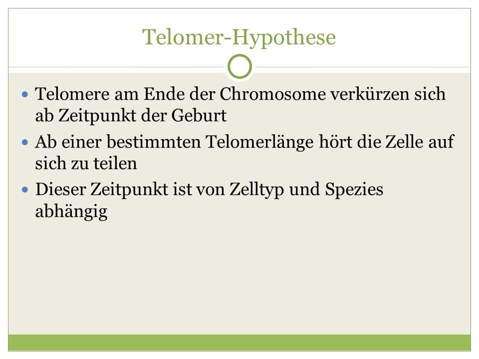 Telomer-Hypothese Telomere am Ende der Chromosome verkürzen sich ab Zeitpunkt der Geburt Ab einer bestimmten Telomerlänge hört die Zelle auf sich zu t