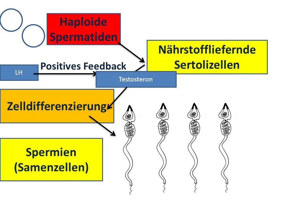 Haploide Spermatiden Nährstoffliefernde Sertolizellen Zelldifferenzierung Spermien (Samenzellen) LH Testosteron Positives Feedback
