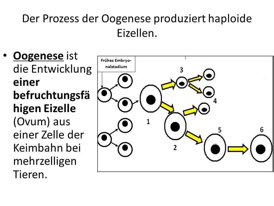 Der Prozess der Oogenese produziert haploide Eizellen. Oogenese ist die Entwicklung einer befruchtungsfä higen Eizelle (Ovum) aus einer Zelle der Keim
