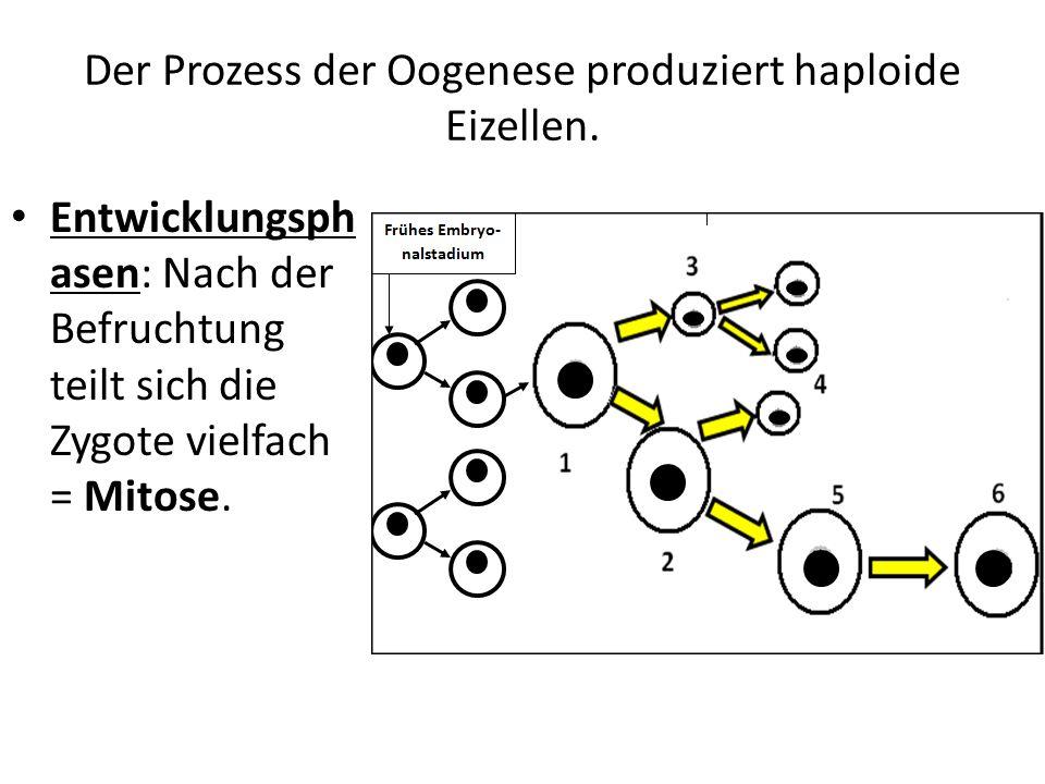 Der Prozess der Oogenese produziert haploide Eizellen. Entwicklungsph asen: Nach der Befruchtung teilt sich die Zygote vielfach = Mitose.