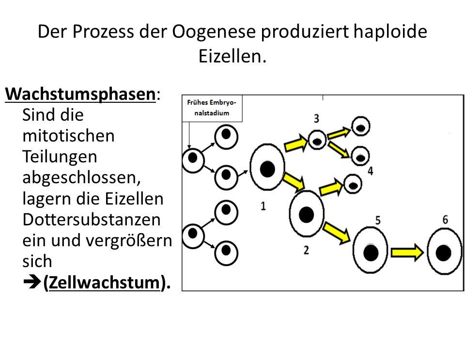 Der Prozess der Oogenese produziert haploide Eizellen. Wachstumsphasen: Sind die mitotischen Teilungen abgeschlossen, lagern die Eizellen Dottersubsta