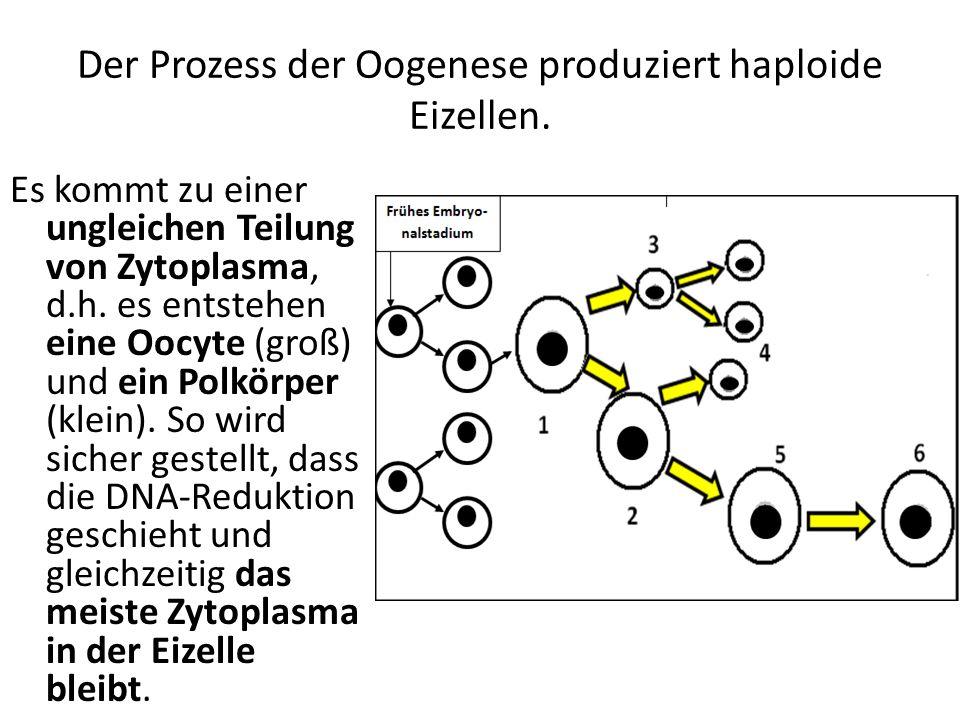 Der Prozess der Oogenese produziert haploide Eizellen. Es kommt zu einer ungleichen Teilung von Zytoplasma, d.h. es entstehen eine Oocyte (groß) und e