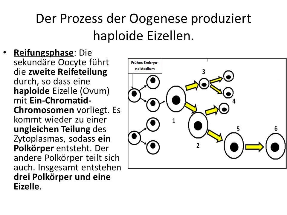 Der Prozess der Oogenese produziert haploide Eizellen. Reifungsphase: Die sekundäre Oocyte führt die zweite Reifeteilung durch, so dass eine haploide