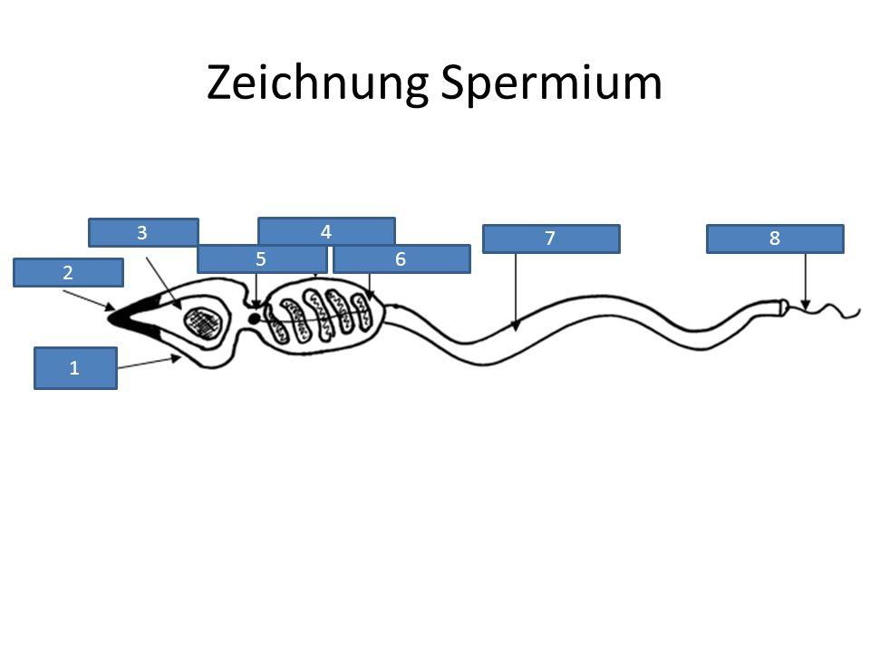 Zeichnung Spermium 1 2 3 4 56 78