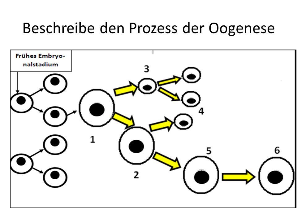 Beschreibe den Prozess der Oogenese
