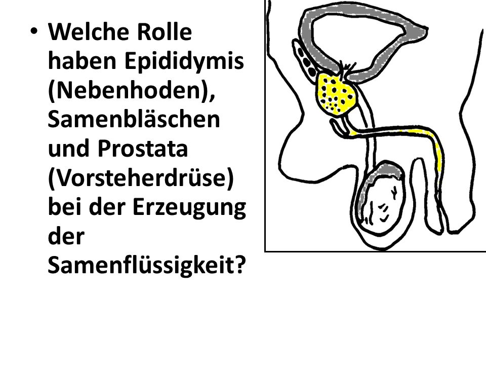 Welche Rolle haben Epididymis (Nebenhoden), Samenbläschen und Prostata (Vorsteherdrüse) bei der Erzeugung der Samenflüssigkeit?