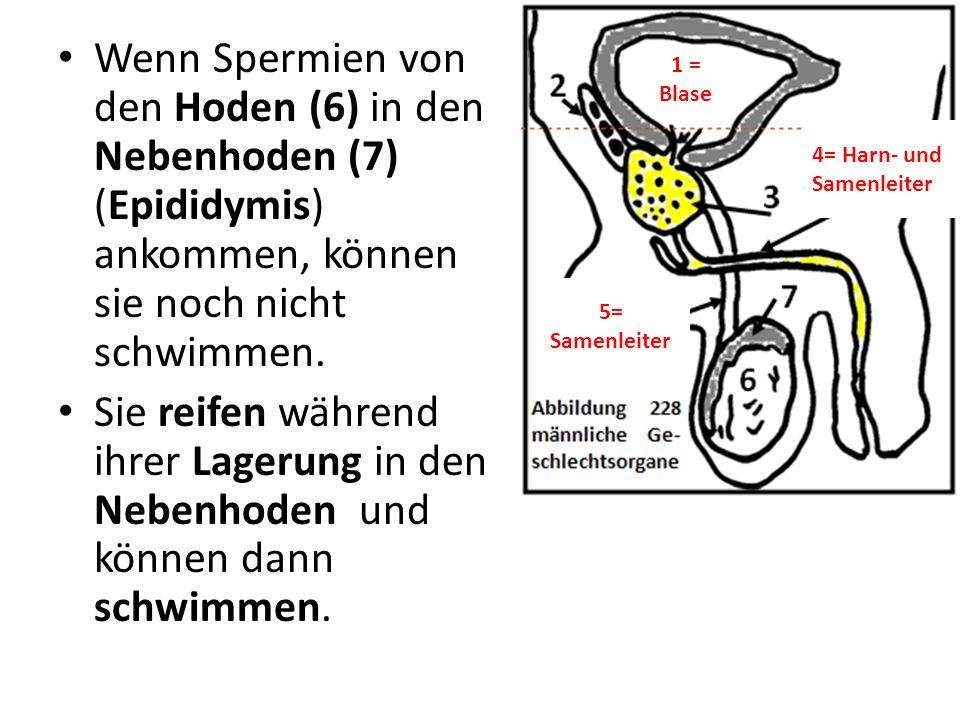 Wenn Spermien von den Hoden (6) in den Nebenhoden (7) (Epididymis) ankommen, können sie noch nicht schwimmen. Sie reifen während ihrer Lagerung in den