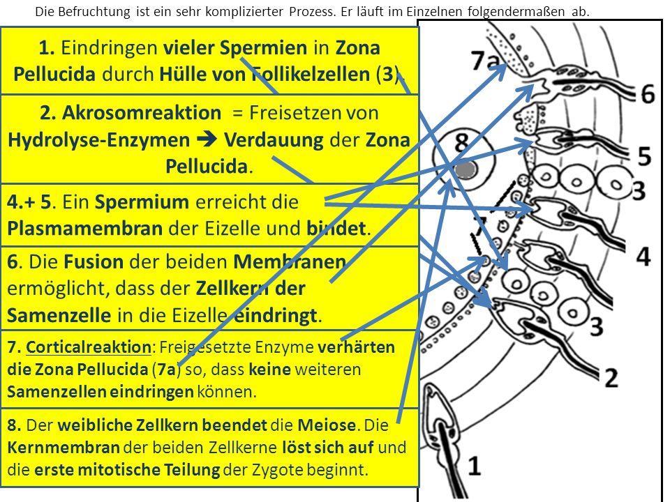 1. Eindringen vieler Spermien in Zona Pellucida durch Hülle von Follikelzellen (3). 2. Akrosomreaktion = Freisetzen von Hydrolyse-Enzymen Verdauung de
