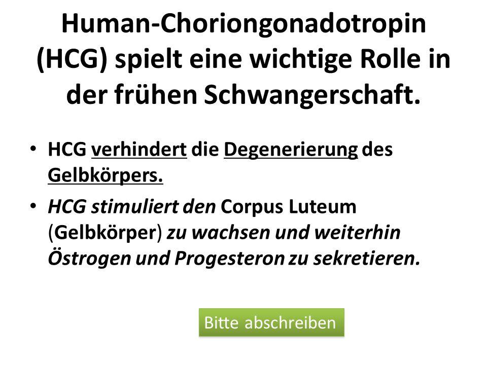 Human-Choriongonadotropin (HCG) spielt eine wichtige Rolle in der frühen Schwangerschaft. HCG verhindert die Degenerierung des Gelbkörpers. HCG stimul