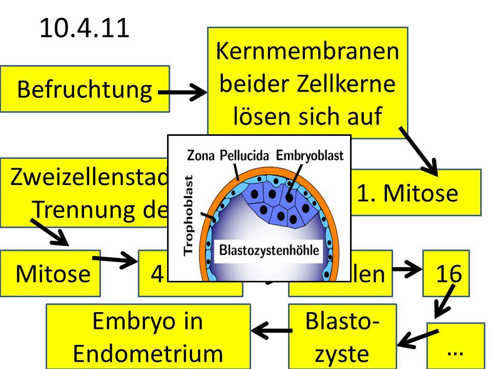 10.4.11 Befruchtung Kernmembranen beider Zellkerne lösen sich auf 1. Mitose Zweizellenstadium (Keine Trennung der Zellen!) Mitose 4 Zellen 8 Zellen 16