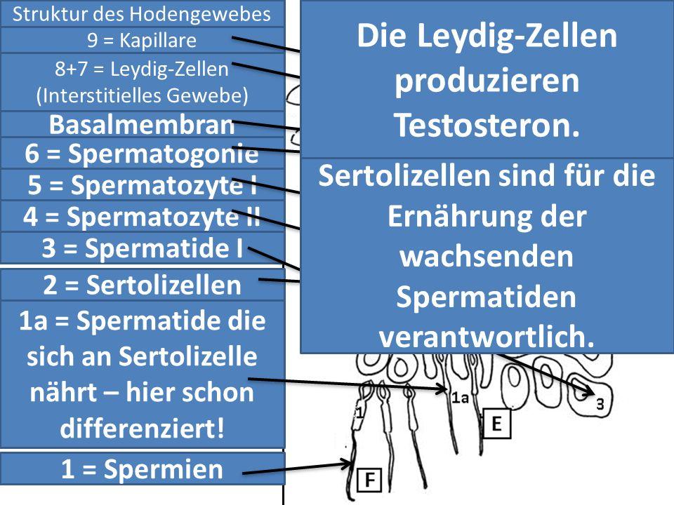 Struktur des Hodengewebes 9 = Kapillare 8+7 = Leydig-Zellen (Interstitielles Gewebe) Basalmembran 6 = Spermatogonie 5 = Spermatozyte I 4 = Spermatozyt
