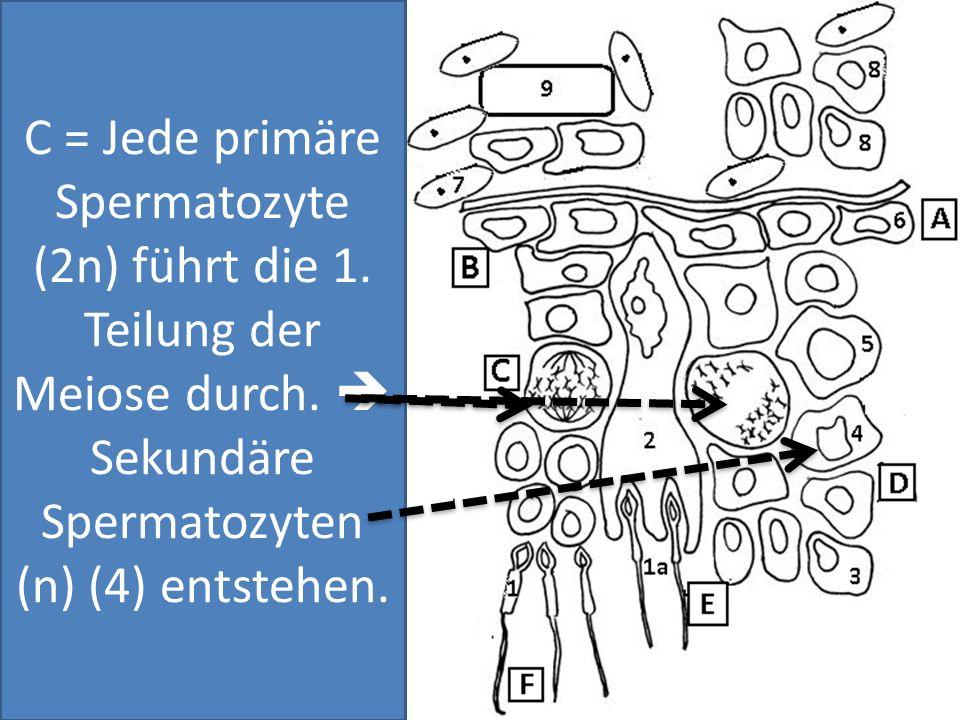 C = Jede primäre Spermatozyte (2n) führt die 1. Teilung der Meiose durch. Sekundäre Spermatozyten (n) (4) entstehen.