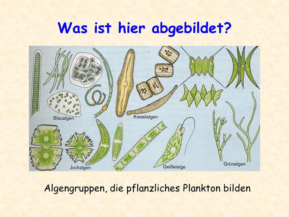 Was ist hier abgebildet? Algengruppen, die pflanzliches Plankton bilden