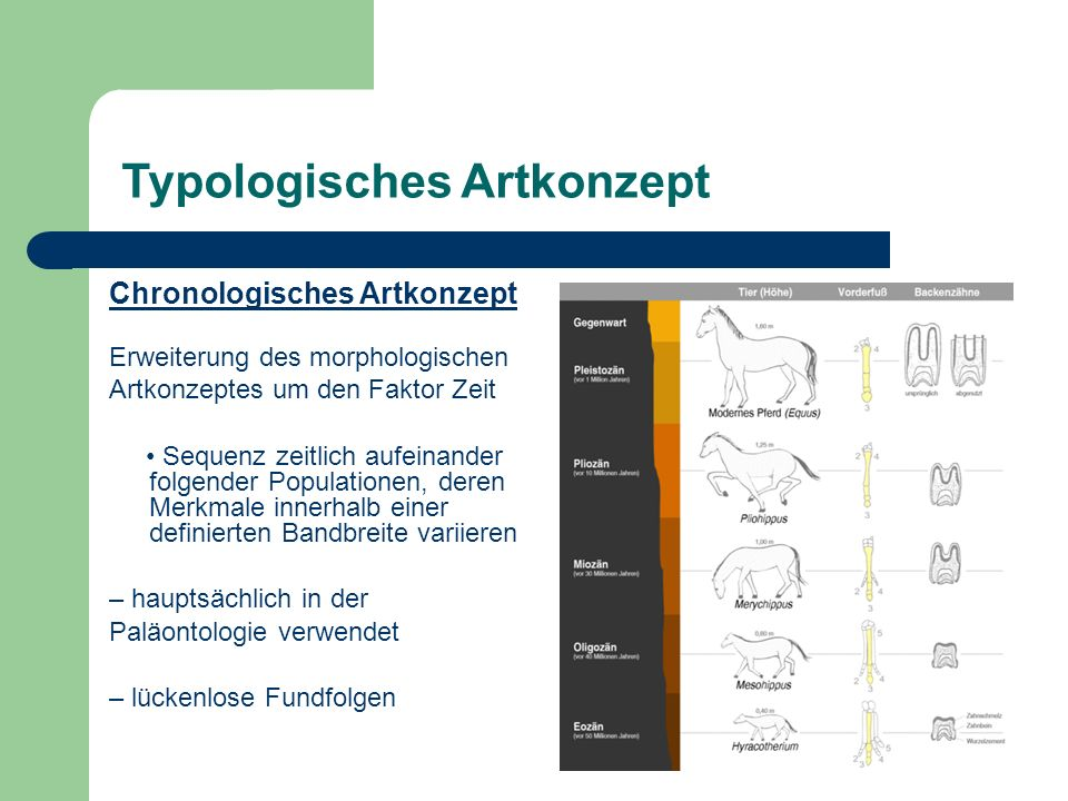 Typologisches Artkonzept Chronologisches Artkonzept Erweiterung des morphologischen Artkonzeptes um den Faktor Zeit Sequenz zeitlich aufeinander folgender Populationen, deren Merkmale innerhalb einer definierten Bandbreite variieren – hauptsächlich in der Paläontologie verwendet – lückenlose Fundfolgen