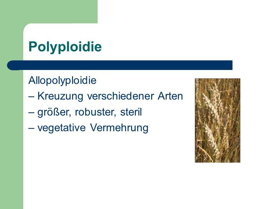 Polyploidie Allopolyploidie – Kreuzung verschiedener Arten – größer, robuster, steril – vegetative Vermehrung