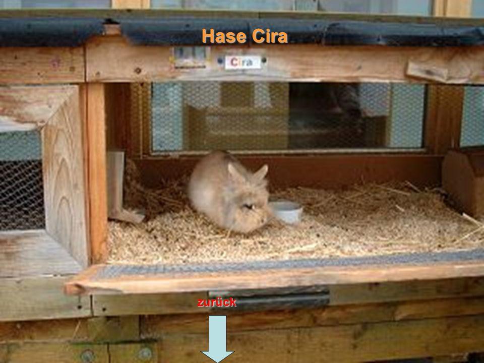 zurück Hase Cira