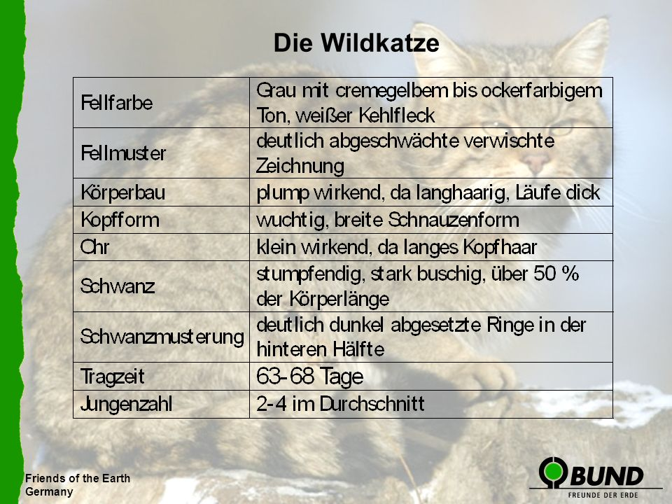 Friends of the Earth Germany Die Wildkatze Friends of the Earth Germany