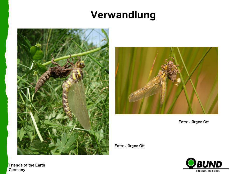 Friends of the Earth Germany Verwandlung Große Moosjungfer Gemeine Falkenlibelle Foto: Jürgen Ott