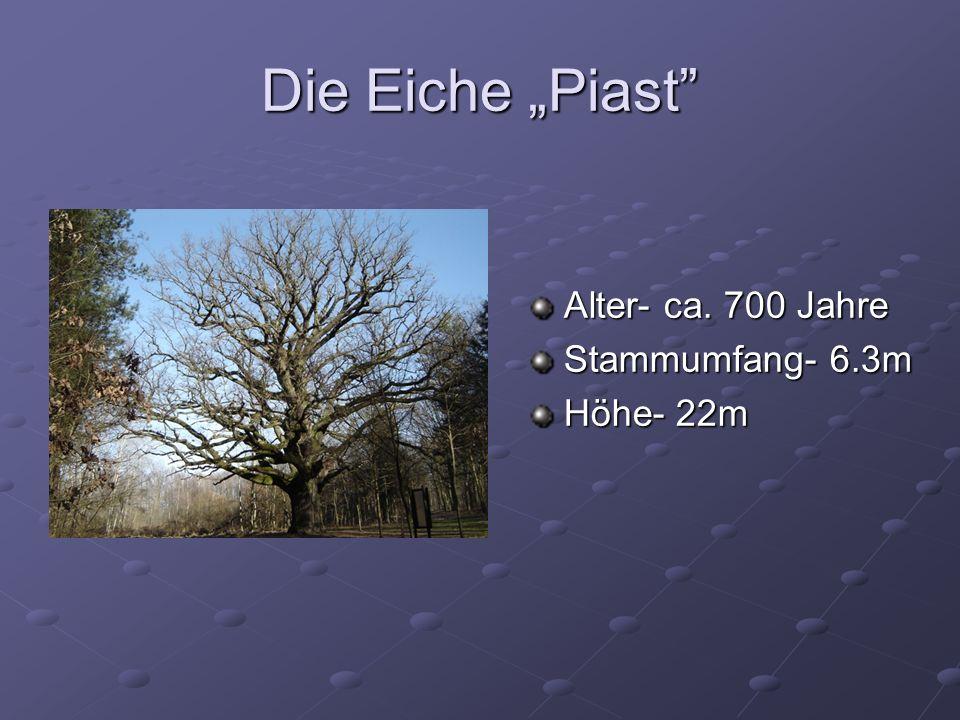 Die Eiche Piast Alter- ca. 700 Jahre Stammumfang- 6.3m Höhe- 22m
