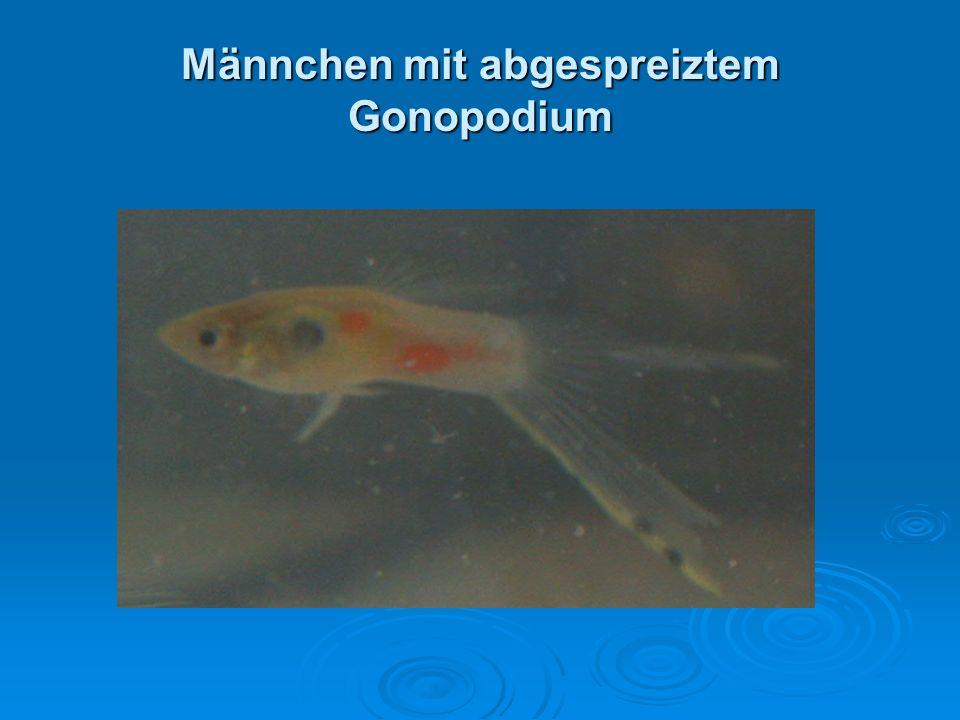 Männchen mit abgespreiztem Gonopodium