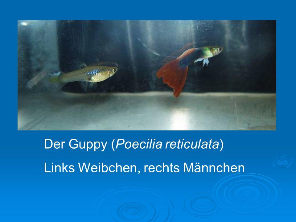 Versuche: Partnerwahl ein weiteres Aquarium (ca.