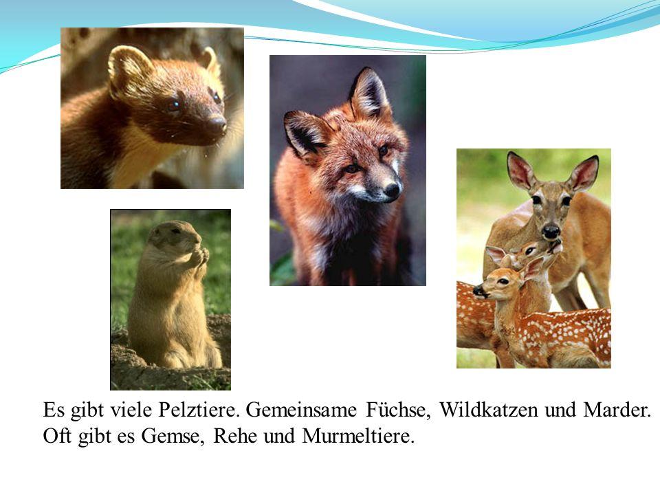 Es gibt viele Pelztiere. Gemeinsame Füchse, Wildkatzen und Marder. Oft gibt es Gemse, Rehe und Murmeltiere.