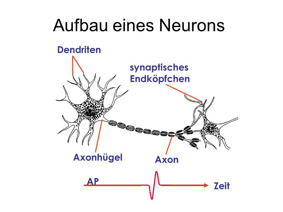 Aufbau eines Neurons Dendriten Axonhügel synaptisches Endköpfchen Axon AP Zeit