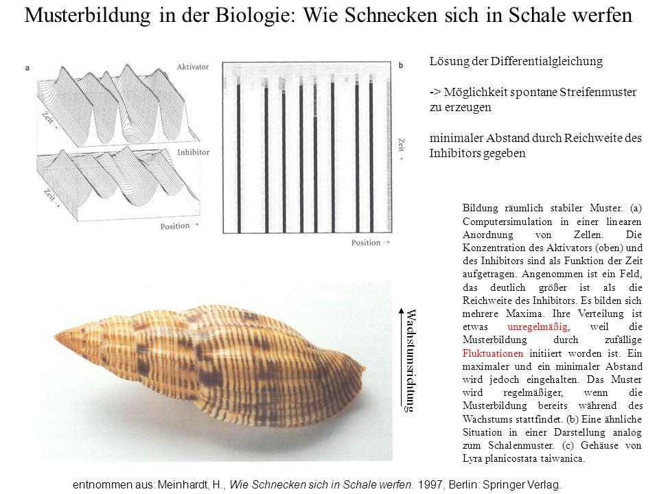 Musterbildung in der Biologie: Wie Schnecken sich in Schale werfen entnommen aus: Meinhardt, H., Wie Schnecken sich in Schale werfen. 1997, Berlin: Sp