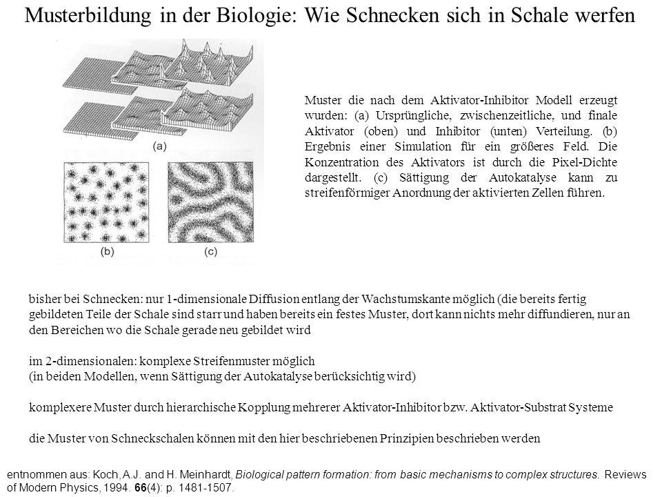 Musterbildung in der Biologie: Wie Schnecken sich in Schale werfen entnommen aus: Koch, A.J. and H. Meinhardt, Biological pattern formation: from basi
