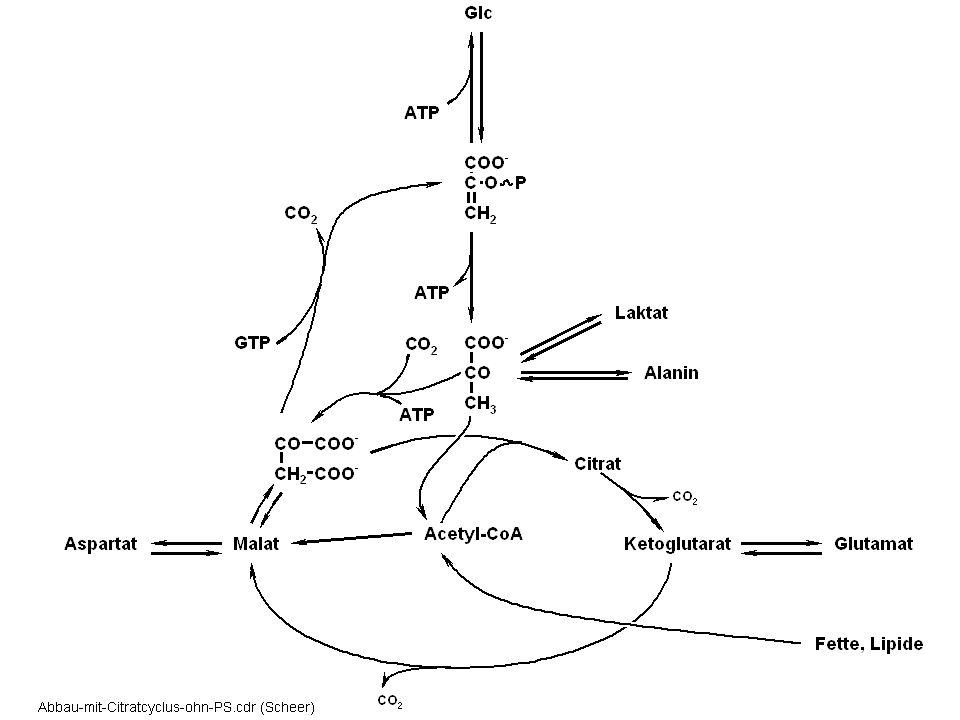 Licht- und Dunkelreaktionen bei der Photosynthese Lichtsammlung in Antennen Lichtgetriebener Elektronentransport über Membran Umwandlung des elektrischen in ein elektrochemisches Membranpotential NADPH aus linearem Elektronentransport ATP-Synthese in ATPase unter Ausnutzung des elektrochemischen Membran-Potentials Fixierung von CO 2 : Rubisco und Calvin Cyclus Glukoneogenese Export von Zuckerphosphaten Plastid