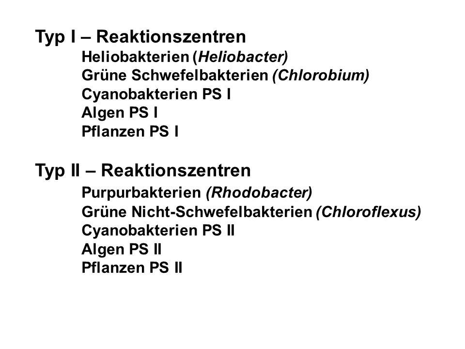 Typ I – Reaktionszentren Heliobakterien (Heliobacter) Grüne Schwefelbakterien (Chlorobium) Cyanobakterien PS I Algen PS I Pflanzen PS I Typ II – Reaktionszentren Purpurbakterien (Rhodobacter) Grüne Nicht-Schwefelbakterien (Chloroflexus) Cyanobakterien PS II Algen PS II Pflanzen PS II