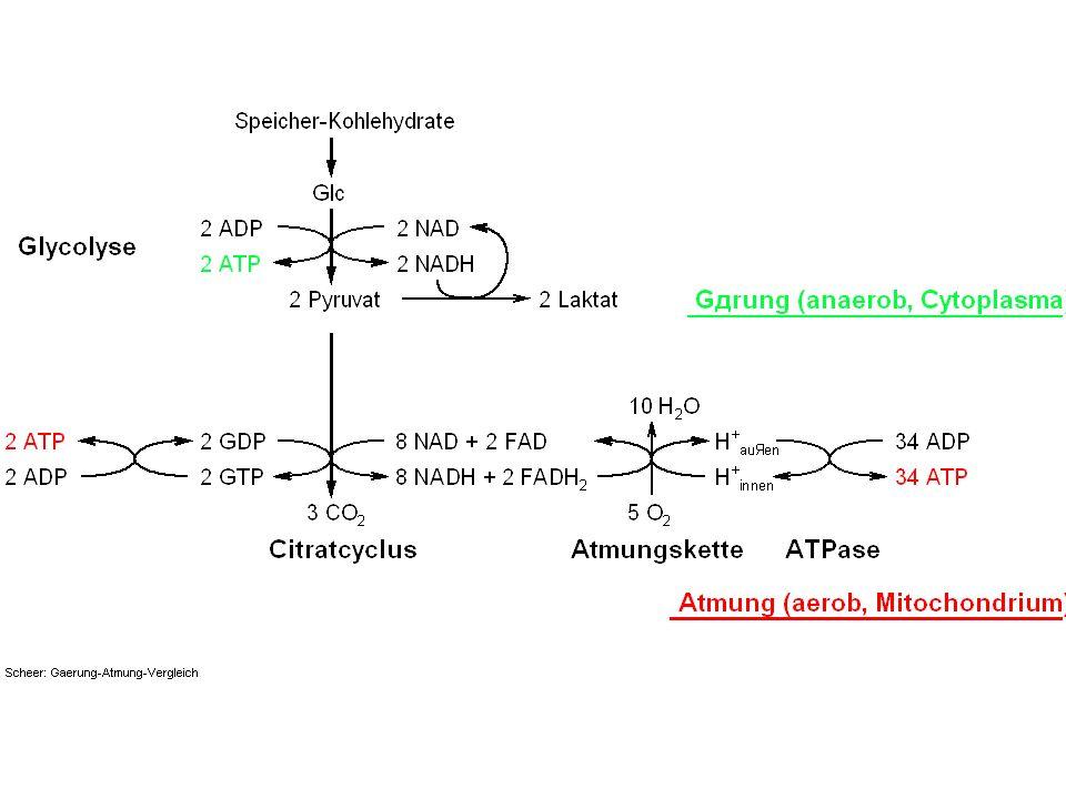 MEMBRANMEMBRAN Innen (Cytoplasma / Stroma) Außen (Periplasma / Lumen) Fd > NADPH - - - - - - - + - - - - H+H+ OH - H H H+H+ +-